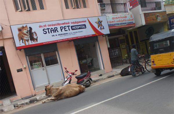L'Inde ou le pays de la vache sécrée, the Star Pet !