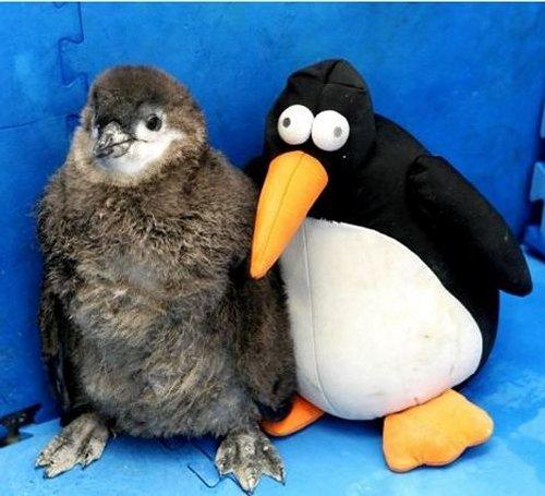 le pingouin et sa plush