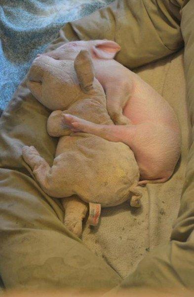 le cochon et sa plush