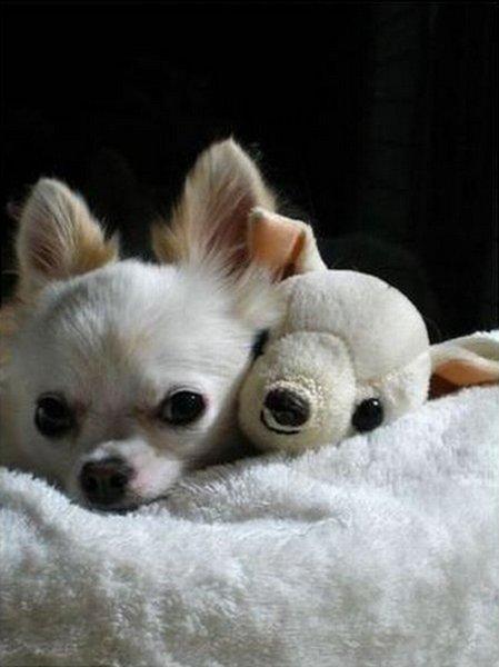 le chihuahua et sa plush