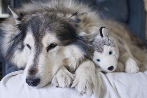 le husky et sa plush